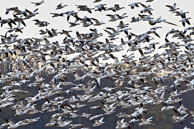 Snow Geese lift off from the marsh at Bombay Hook Wildlife Refuge