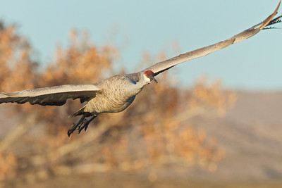 Sandhill Crane Lifting Off at Dawn at Bosque del Apache Wildlife Refuge, New Mexico