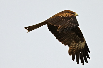 Golden Eagle, Ulgii, NW Mongolia