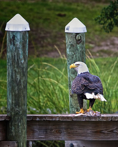 Eagle with a fish on the dock.  Weatherall Creek, Glebe Harbor, Northern Neck, Virginia