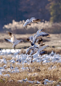 Snow Geese return to the marshes at dusk at Bombay Hook Wildlife Refuge, Delaware