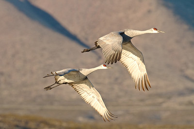 A Pair of Sandhill Cranes Lifting off at Dawn at Bosque del Apache Wildlife Refuge, New Mexico