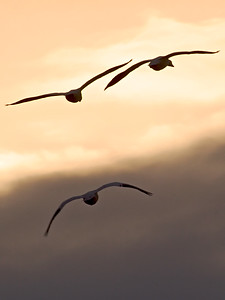 Snow Geese at Sunset at Bombay Hook Wildlife Refuge, Delaware