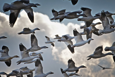 A gaggle of Snow Geese at Bombay Hook