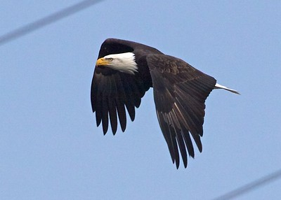 Bald_Eagle_in_flight_Conowingo_Dam