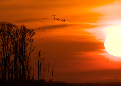 Snow Geese at Dawn.  Bombay Hook Wildlife Refuge, Delaware