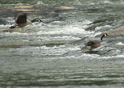 Geese on the New River