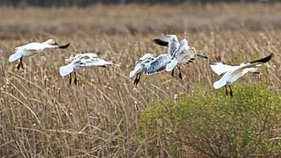 Snow Geese land in formation at Bombay Hook Wildlife Refuge, Delaware