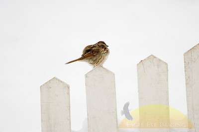 A sparrow sits perched on a fence row