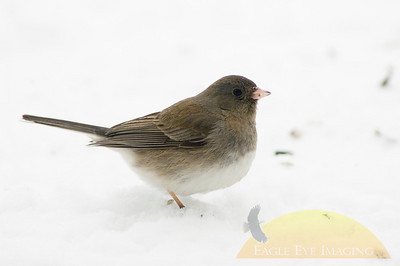 A dark-eyed junco looks for food in the snow following a snowstorm