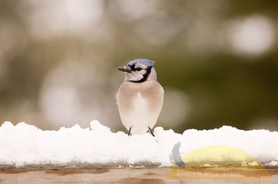 A bluejay sits perched on a snow-covered deck after a winter storm.
