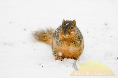 A squirrel digs through the snow in search of a quick meal