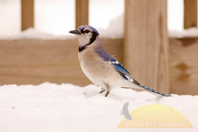 A bluejay looks for a meal in the snow