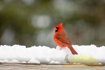 A male northern cardinal sits on the railing of a deck following a snowstorm