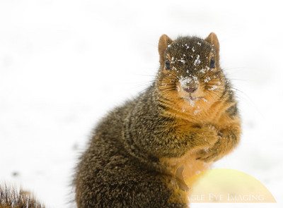 A squirrel looks for a quick meal in the snow following a winter storm.