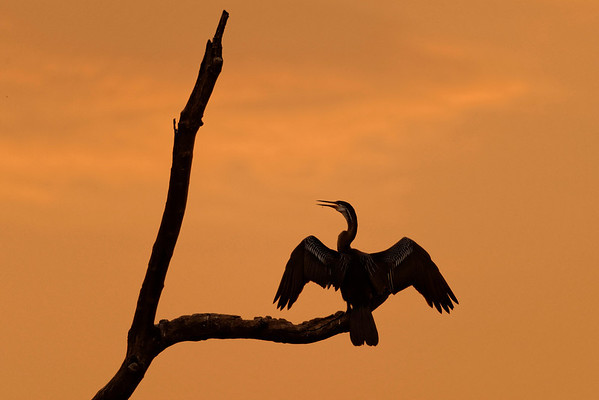 Oriental Darter, Pench National Park, India.