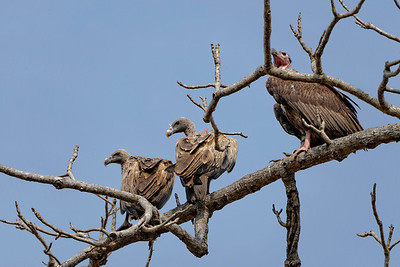 A species of vulture, two females and one large male.