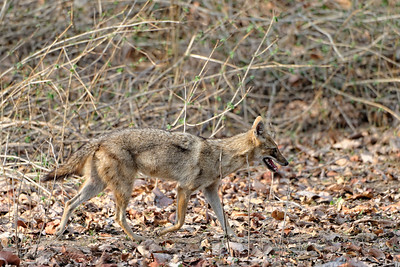 Indian jackal on the prowl.
