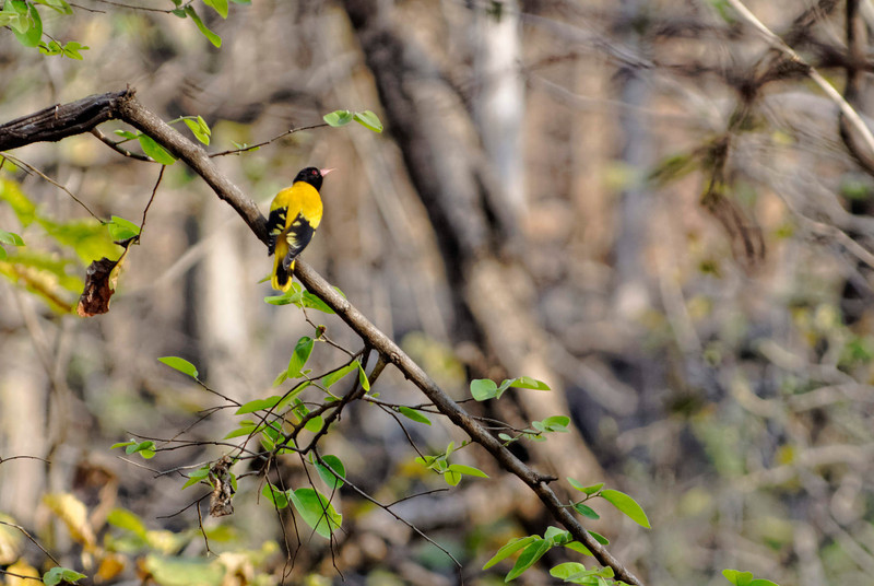 Black -headed oriole.