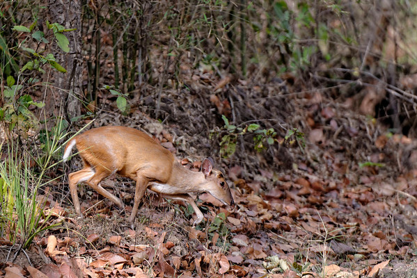 The least common and very shy barking deer, at Bandhavgarh.