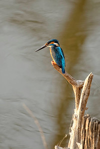 Common kingfisher, Pench National Park.