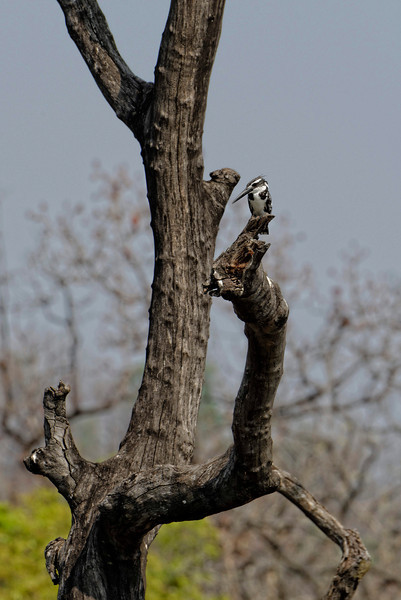 Pied kingfisher, Pench National Park..