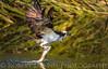 Osprey catch, El Dorado Park, Long Beach