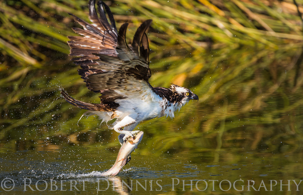 Osprey catch, El Dorado Park, Long Beach