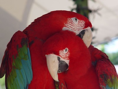 GreRed-and-green Macaw