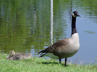 Canada Goose with Gosling
