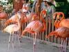 <b>Flamingos</b> - Ardastra Gardens - Nassau, Bahamas  (April 25, 2004)