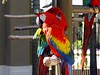 "<b>Scarlet Macaw</b> <i>(Ara macao)</i> (April 23, 2004)  The Scarlet Macaw is perhaps the most magnificent of the macaw species. This magnificent macaw has a long history as a companion to humans, dating back to the early 1100s with the Incas. It is frequently described as ""magnificent, beautiful, and striking.""  Nature created a spectacular combination of color in this Macaw. They are in the top ten of the world's most beautiful parrots.    Scarlet Macaws live in Central and South America. These noisy, magnificent birds can fly at speeds up to 35 miles per hour (56 kph), often flying in pairs or small flocks. In captivity, Scarlet Macaws have a life span of up to 80 years."