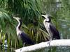 "<a href=""http://www.birds.cornell.edu/AllAboutBirds/BirdGuide/Double-crested_Cormorant.html"" target=""_blank""> <b>Double-crested Cormorants</b></a>  This pair of beautiful birds appear to be permanent residents at <a href=""http://newenglander.smugmug.com/gallery/1454800"">Fairchild Tropical Botanic Garden</a>.  (February 11, 2006)"