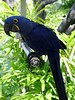 "<b>Hyacinthine Macaw</b> <i>(Anodorhynchus hyacinthinus)</i>  ""Ray"" can be found at Parrot Jungle Island in Miami, Florida.  He has been living there since 1988.  Ray is a crowd favorite at the entrance to the park where he plays with the public and is one of their friendliest Macaws.   The Hyacinthine Macaw is the largest of all parrots, measuring up to 1 meter in length from his beak to the tip of his tail. Ray's favorite foods are Brazil and Macadamia Nuts.   The Hyachinthine Macaw is on the Endangered Species List.  (April 23, 2004)"