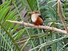 <b>Grey-headed Kingfisher</b> <i>(Halcyon leucocephala)</i>  (Dallas Zoo - March 9, 2007)