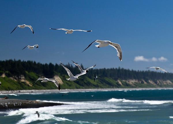 Gulls in Washington