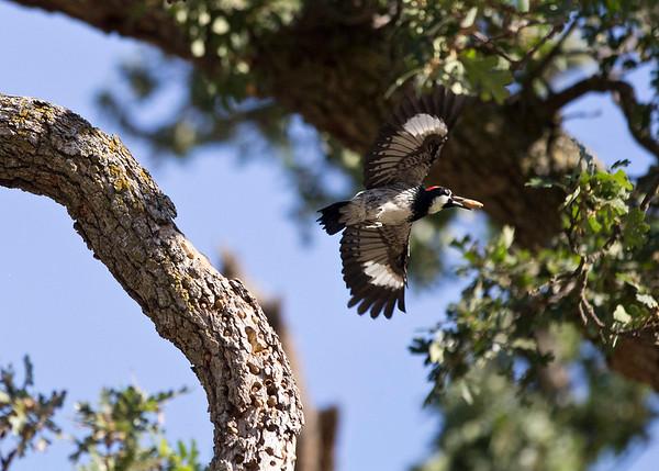 Woodpecker in California