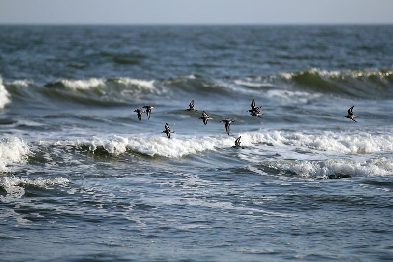 Coastal Sandpipers