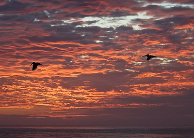 Two Brown Pelicans fly by at sunset off of Puerto Suarez Island in the Galapagos Islands