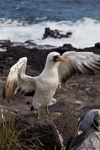 A Nazca Booby dries its wings and poses on Puerto Suarez in  the Galapagos Islands