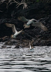 A group of Blue-Footed Boobies fishing at dawn on Santa Cruz Island in the Galapagos
