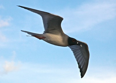 The Galapagos Swallow-Tailed Gull on Puerto Suarez Island in the Galapagos Islands.