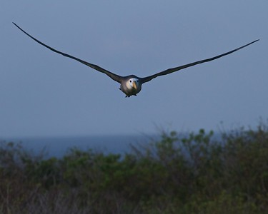 A Giant Albatross in flight along the cliffs on Punta Suarez in the Galapagos Islands
