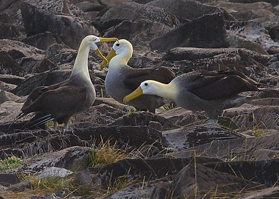 A Giant Albatross pair in a mating dance on Punta Suarez in the Galapagos Islands.  They mate for life and only bear young on this island.