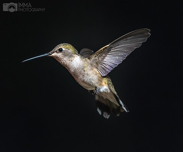 Black-chinned hummingbird (female) 2