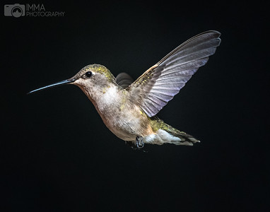 black-chinned hummingbird (female) 3