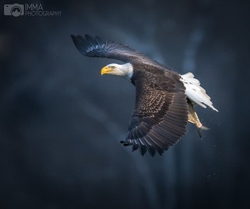 Majestic Eagle (number 1)