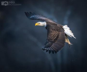 Majestic Eagle (number 1)