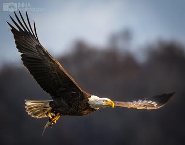 Majestic Eagle (number 2)
