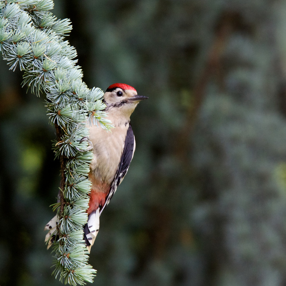 great spotted woodpecker, male
